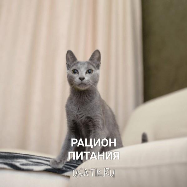 Рацион питания русских голубых кошек