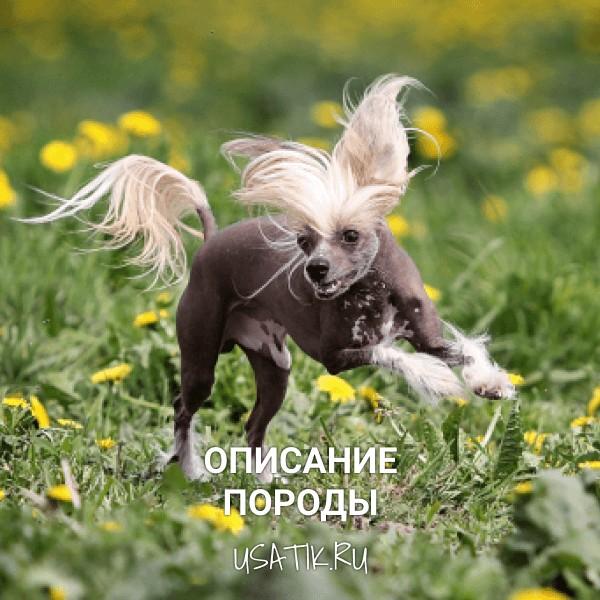 Китайская хохлатая собака - описание породы
