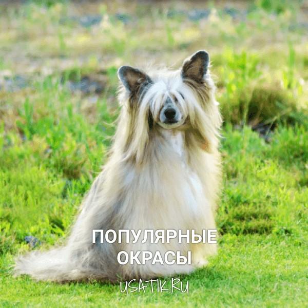 Популярные окрасы китайских хохлатых собак