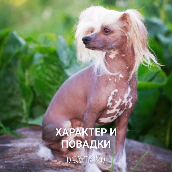 Характер и повадки китайских хохлатых собак