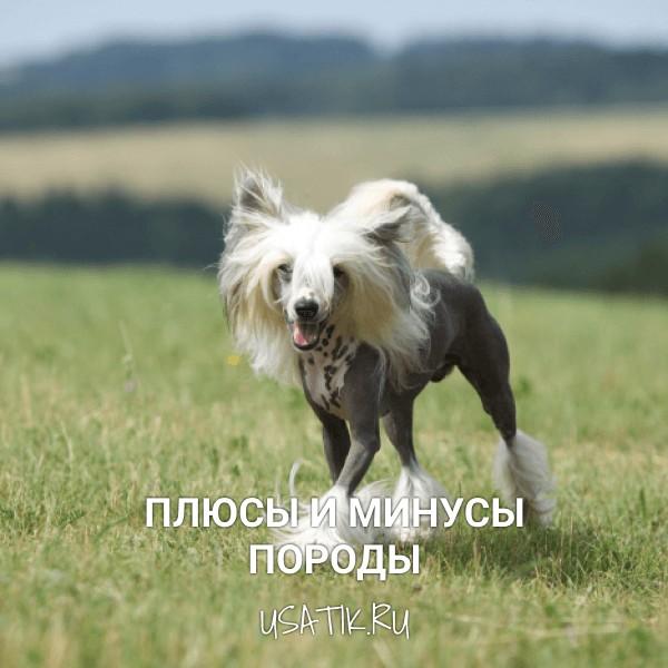 Плюсы и минусы китайских хохлатых собак