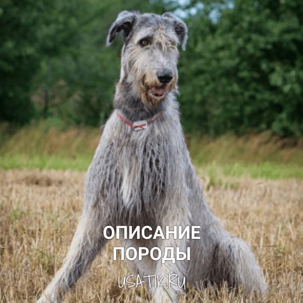 Ирландский волкодав - описание породы