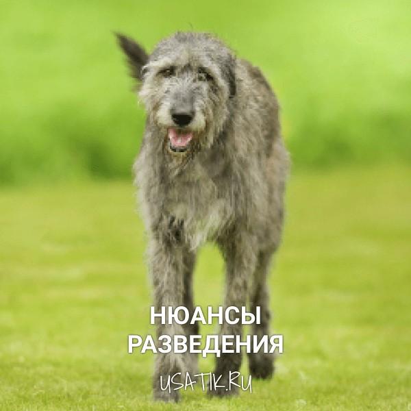 Разведение ирландских волкодавов