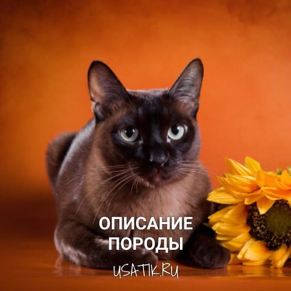 Бурманская кошка - описание породы