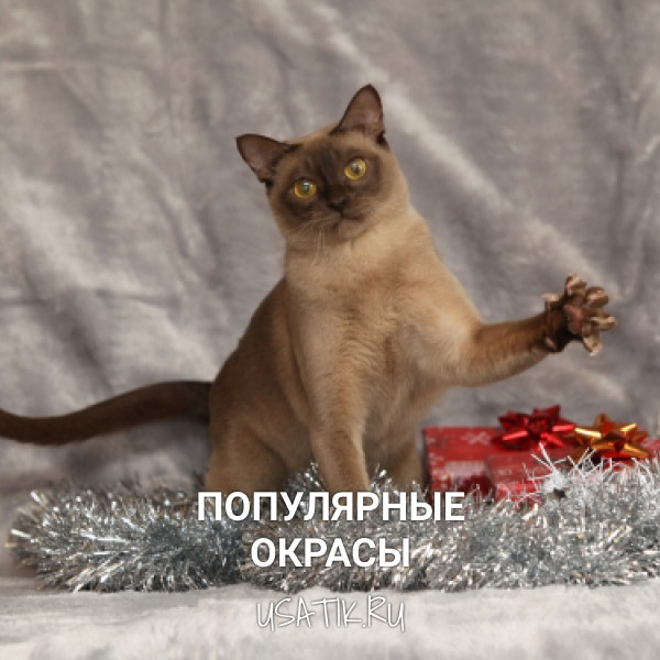 Популярные окрасы бурманских кошек