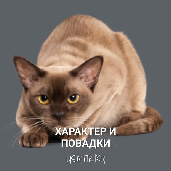 Характер и повадки бурманских кошек