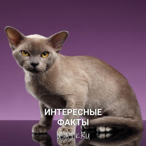 Интересные факты о бурманских кошках