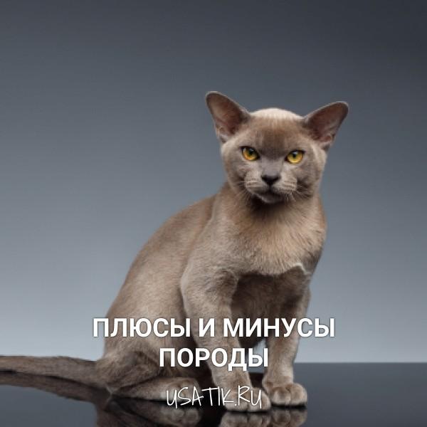 Плюсы и минусы бурманских кошек