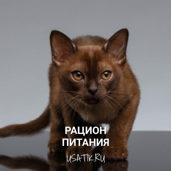 Рацион питания бурманских кошек