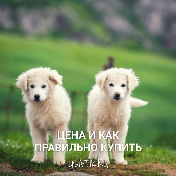 Пиренейская горная собака - цена и как правильно купить