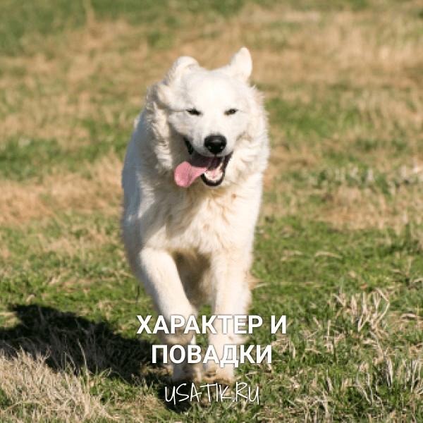 Характер и повадки пиренейских горных собак