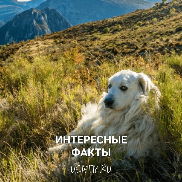 Интересные факты о пиренейских горных собаках