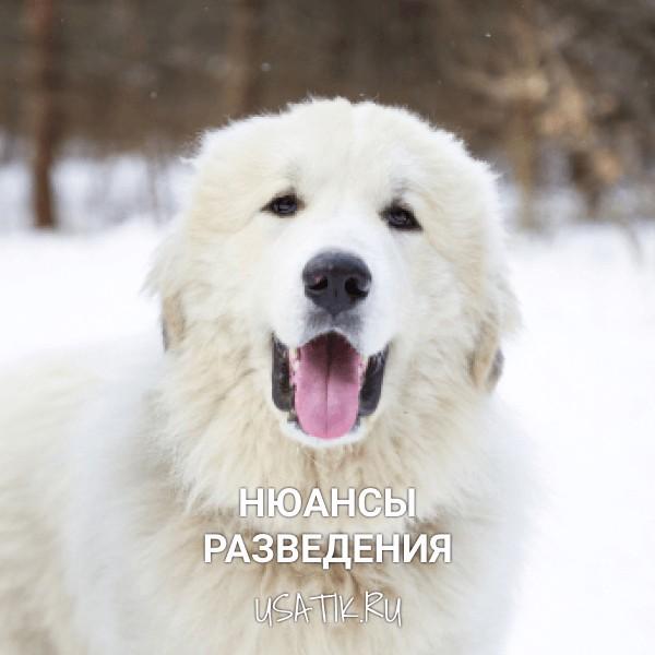Разведение пиренейских горных собак