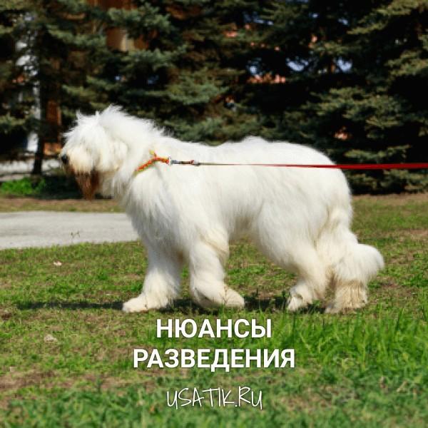 Разведение южнорусских овчарок